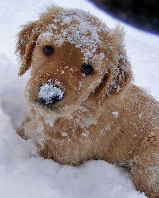 Golden Retriever puppy playing in the snow ♥