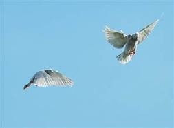Mystery of how homing pigeons find home solved