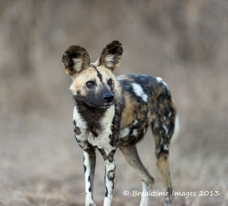 The #IUCN Red List classifies the #AfricanWildDog as #Endangered (EN).