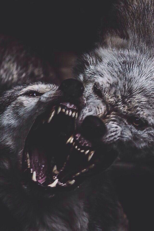 картинки злые собаки и волки один самых наипростейших