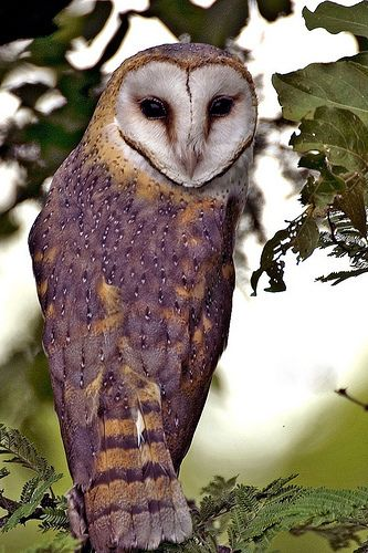 barn owl beauty/ love the purple feathers