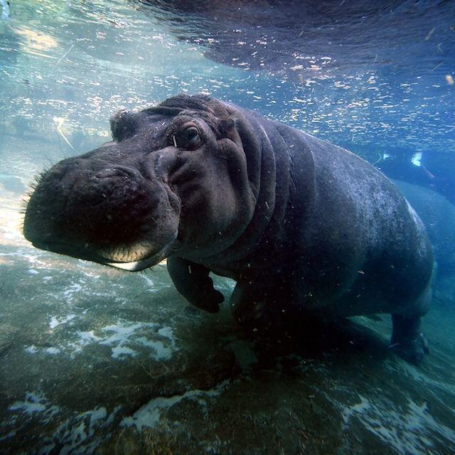 Un ippopotamo nello zoo di San Diego