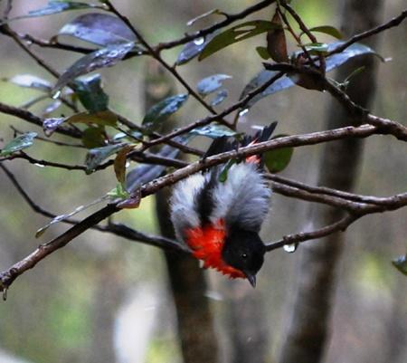 We discussed Sunbirds recently and so a mention of its relative, the Mistletoebird, is appropriate for this week. These charming little birds are quite common around the village although not often seen by a casual observer. As the name implies, they feed primarily on mistletoe fruits and play a significant role in dispersing the seeds of this parasitic plant.