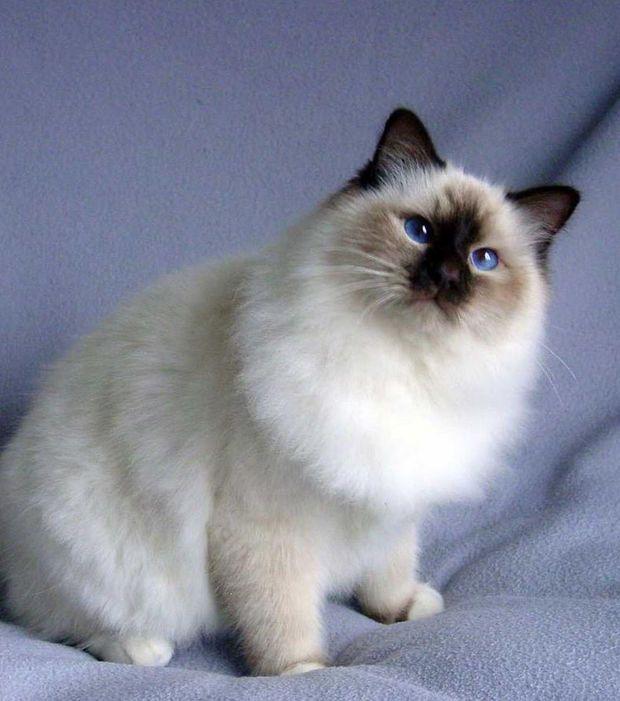 Die Heilige Birma Katze