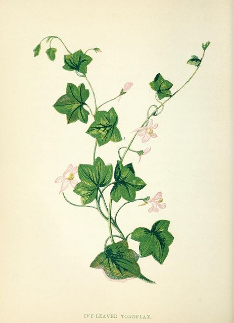 ivy leaves and toadflax