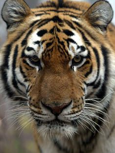 the action of tiger conservation Projects tiger conservation  (and less than 400 sumatran tigers), immediate action is the only way to save this magnificent species from extinction the future.