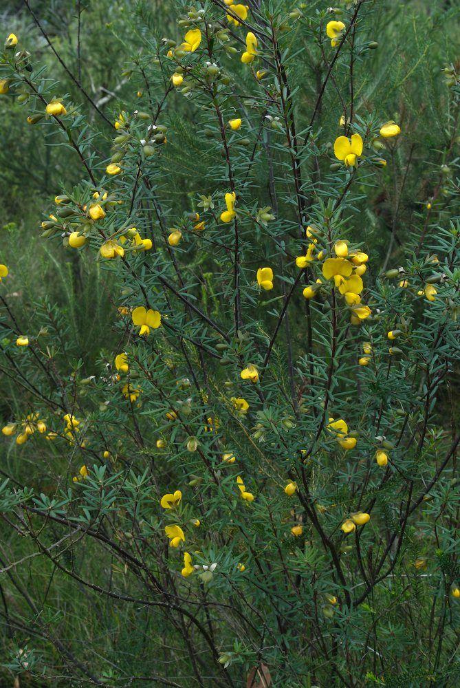Gompholobium latifolium (Golden Glory Pea) (Brisbane-Dry Eucalypt Forest)
