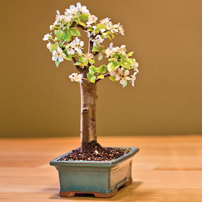 24 best gd bonsai images by jessica howard on pinterest bonsai a pear bonsai tree produces pure white flowers followed by miniture bartlette pears mightylinksfo