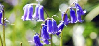Bluebells at Chesham Nature Reserve