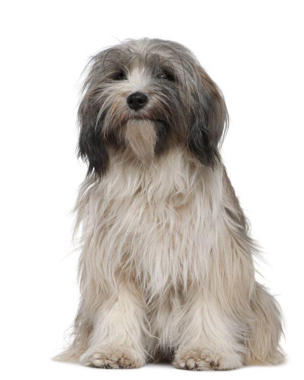 Hondenrassen - Tibetaanse Terriër