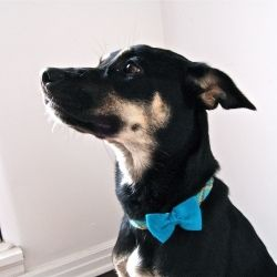 You can make your own adorable dog bow tie with these easy steps.