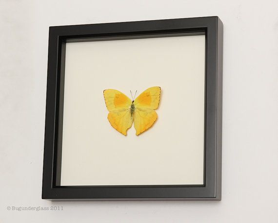 Yellow Real Butterfly Taxidermy Display by BugUnderGlass on Etsy