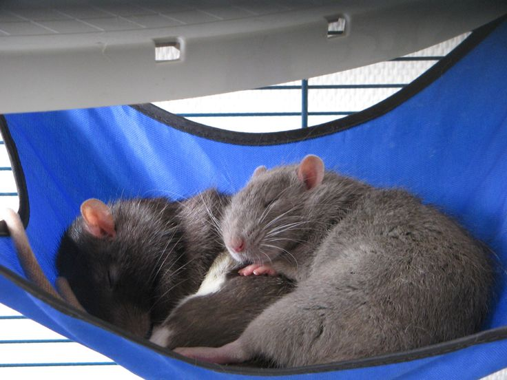 Bricolage - Fabriquer ses propres hamacs pour rats   PARatSite, site de rats domestiques