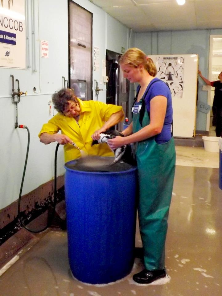 Animal care volunteer Didi Rambouts assisting with the cleaning of oiled penguins at SANCCOB Saves Seabirds