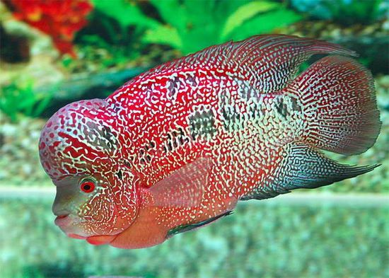 Flowerhorn fish pictures lou han care and information for Fish as pets