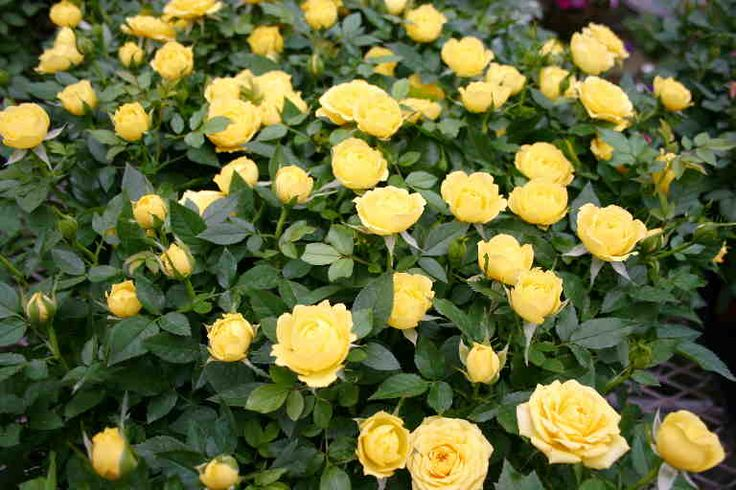 Double knockout roses, Can't wait till mine get big and pretty