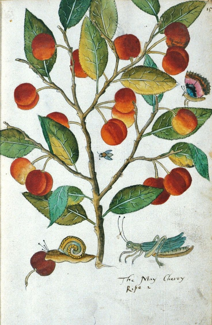 John Tradescant the Elder, (c 1570-1632) naturalist & gardener,