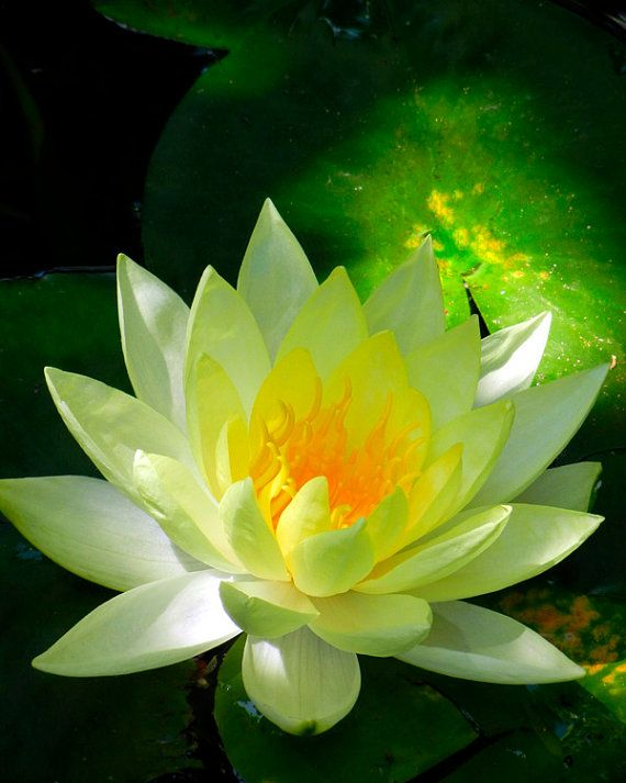 Golden Yellow Lotus Flower in Pond - Nature Photography - Water Lily Fine Art Photo - Flower Photography - Spiritual Radiant Light - Zen Art