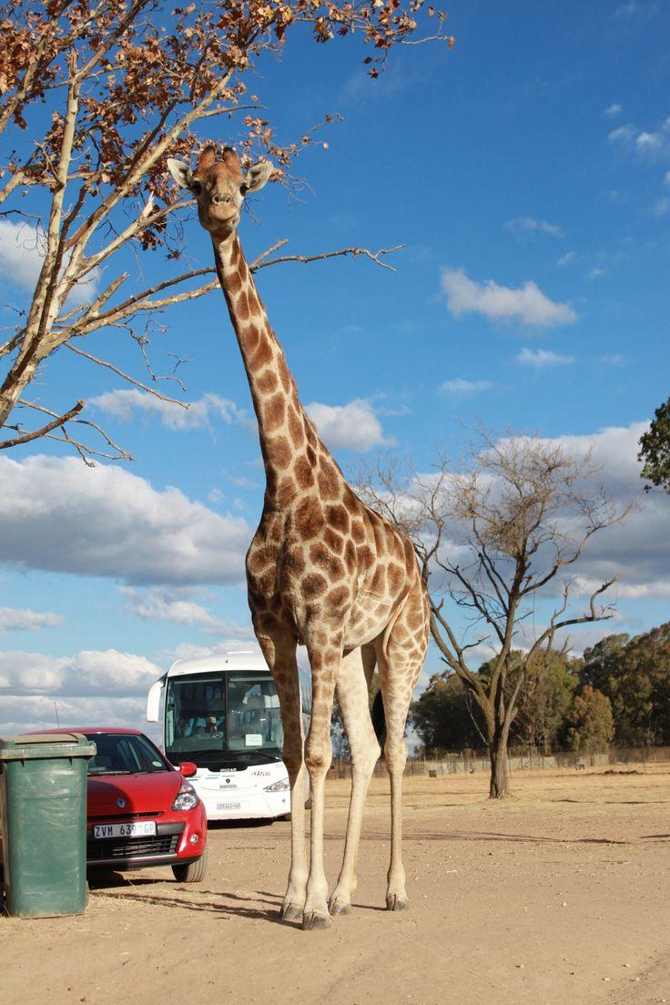 Runaway giraffe, South Africa