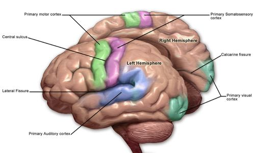 Blausen 0103 Brain Sensory&Motor.png.  We also know that other regions of the brain communicate with the primary motor cortex and thus control behaviors.