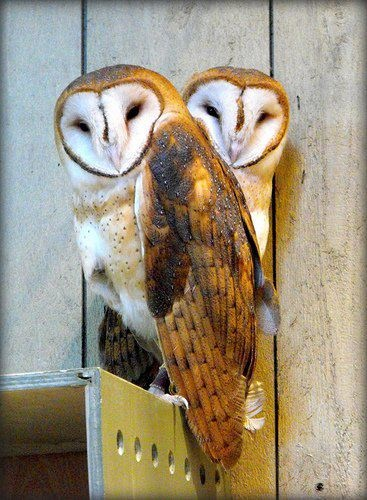 intelligent,  aerial acrobats of great abilities ~ Barn Owls  http://www.allaboutbirds.org/guide/Barn_Owl/id    ew