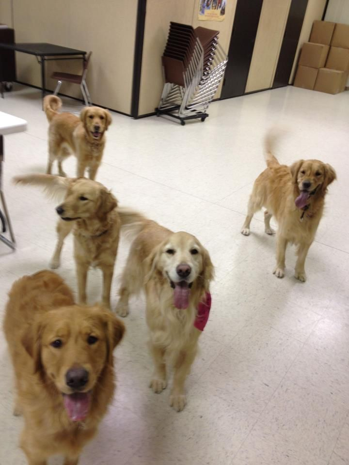 Luther Comfort Dog with other LCC K-9 Comfort Dogs in a play break #k9comfortdogs #dogs