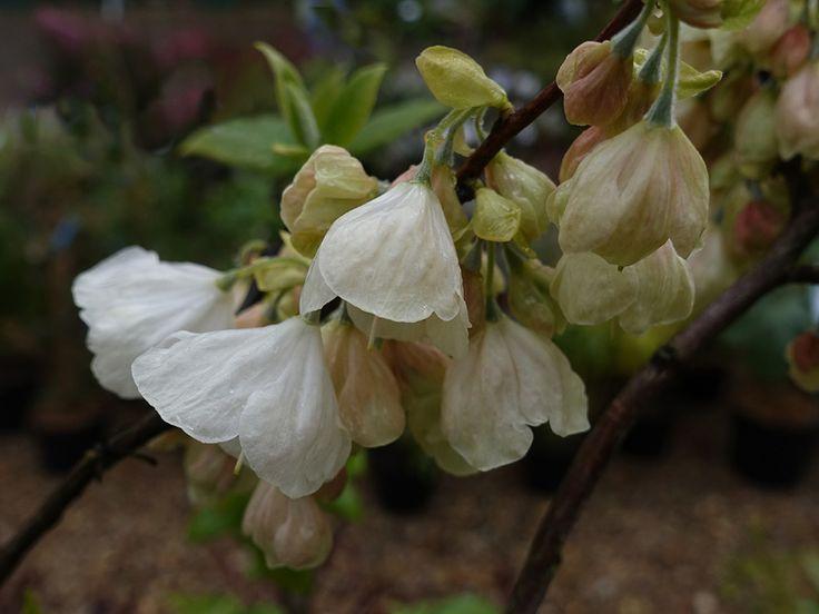 Arbre aux cloches d'argent de Caroline, Perce-neige en arbre, Halesier, Halesia carolina