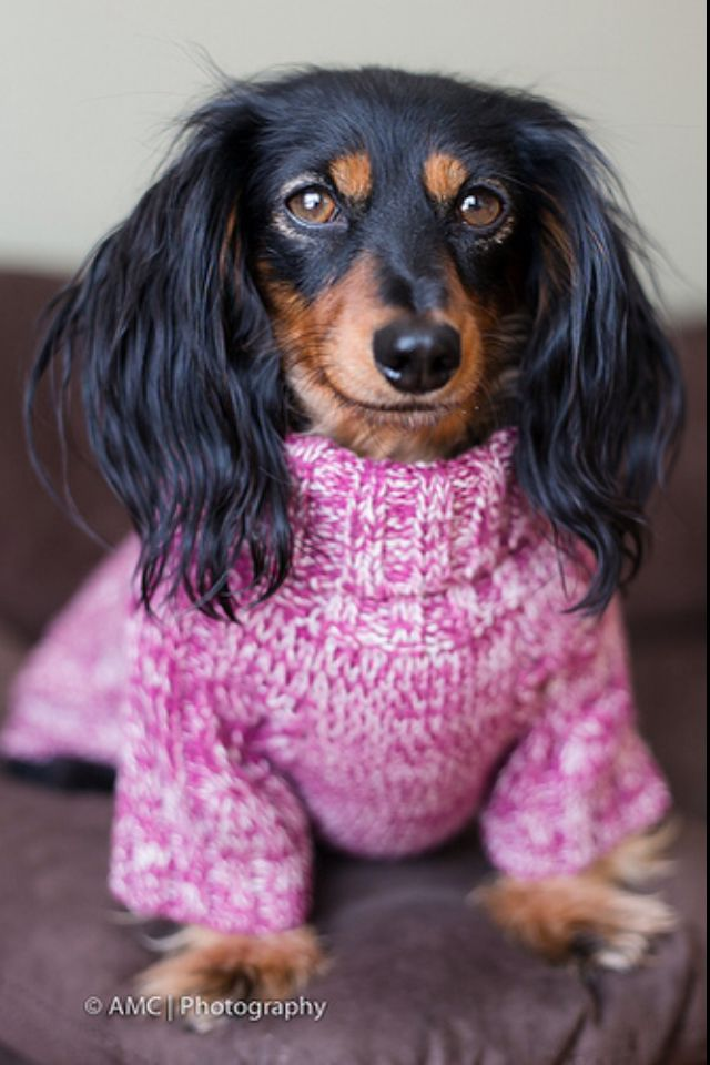 Longhaired Black and Tan Dachshund Puppy Dogs Dogs In Clothes #DogsInClothes