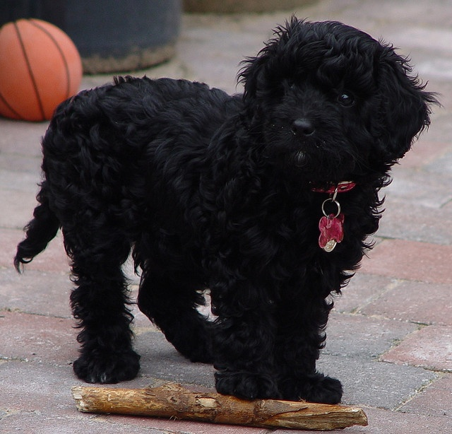 Black cavapoo Puppy Love Pinterest
