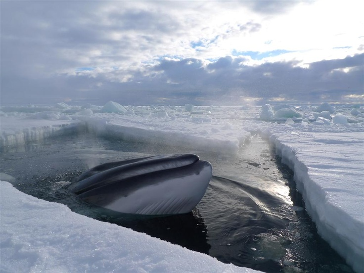 A southern minke whale rises through the ice to breathe. Minke whales are sea ice specialists - their short dorsal fins and immense swimming power enable them to swim deep into the pack ice in search of food. ©Chadden Hunter