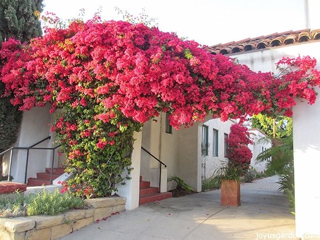 119 Best Bougainvillea Everywhere Images On Pinterest A