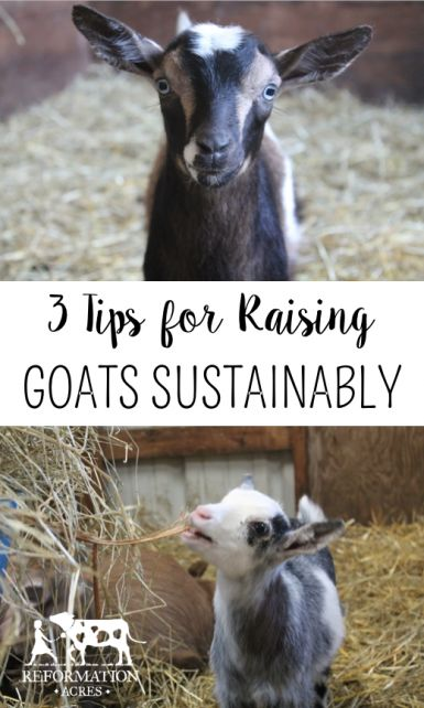 3 Tips for Raising Goats Sustainably