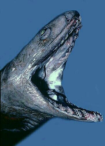 Ugliest Living Oceanic Creatures |Ugly Shark Japan
