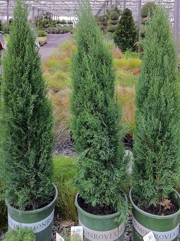 Cupressus sempervirens 'Monshel', Tiny Towers Italian Cypress. Per eGardenGo: 4-5' T x 1' W. It's a dwarf Italian Cypress, good in ground and containers.