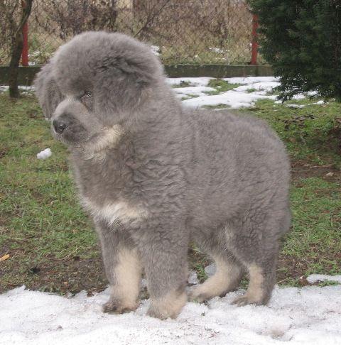 Best 25 Tibetan Mastiff Puppies Ideas On Pinterest