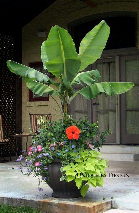 Best 25 Banana Plants Ideas On Pinterest
