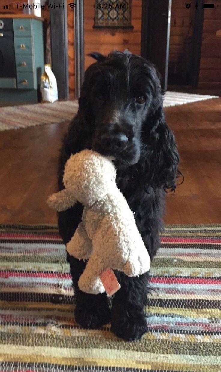 Hunde Welpen Puppy S Best Friend Mit Bildern Hunde Hunde Welpen Englischer Cocker Spaniel