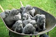 a bunch of blue great danes