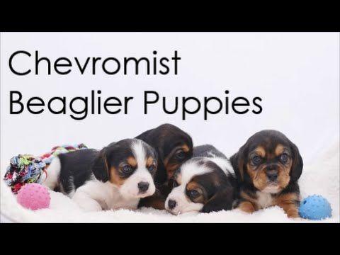 Beaglier Puppies For Sale | Chevromist Kennels