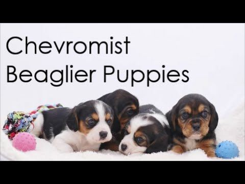 Beaglier Puppies For Sale | Chevromist Kennels