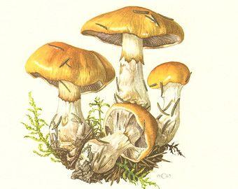 1962 Bracket Fungus Osmoporus Odoratus by CabinetOfTreasures