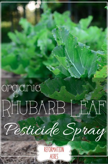 All-Natural, Organic Rhubarb Leaf Pesticide Spray 1.) Add the leaves to a stockpot 2.) Cover with water. 3.) Bring to a boil. 4.) Keep it there for 30 minutes or so. It's not rocket science. 5.) Skim off the leaves and sediment. It's probably best to do it with a funnel and some cheesecloth. 6.) Add to your spray bottle and dilute it. I did a ratio of 1 part rhubarb leaf liquid to 2 parts water. 7.) Spray the leaves of the insect-ravaged plant.