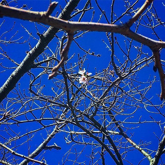 【takeshi_nstagram】さんのInstagramをピンしています。 《今朝のランニングで諏訪神社通ったら、桜がなぜか咲いてた。 この陽気で間違えちゃったかな?  #片瀬諏訪神社 #桜 #sakura #イマソラ #イマソラじゃないけど #カコソラ #片瀬 #katase #鵠沼 #kugenuma #江ノ島 #enoshima #湘南 #shonan #藤沢 #fujisawa #iPhone6s #iPhone #iPhoneで撮りました #like4like #tags4like #likeit》