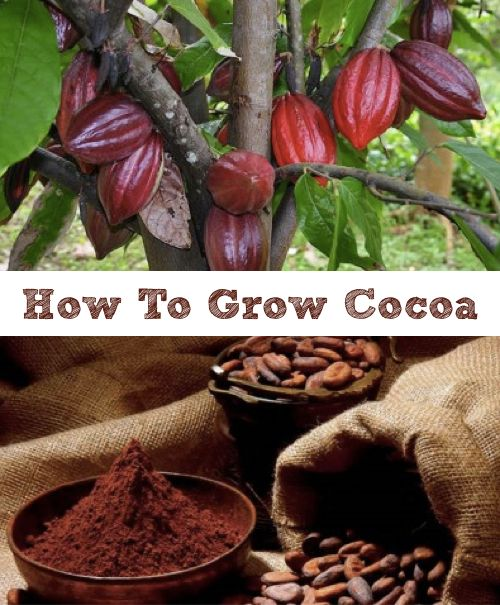 How To Grow Cocoa In A Greenhouse...http://homestead-and-survival.com/how-to-grow-cocoa-in-a-greenhouse/