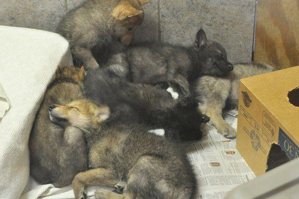 Wolfswelpen 898144192243