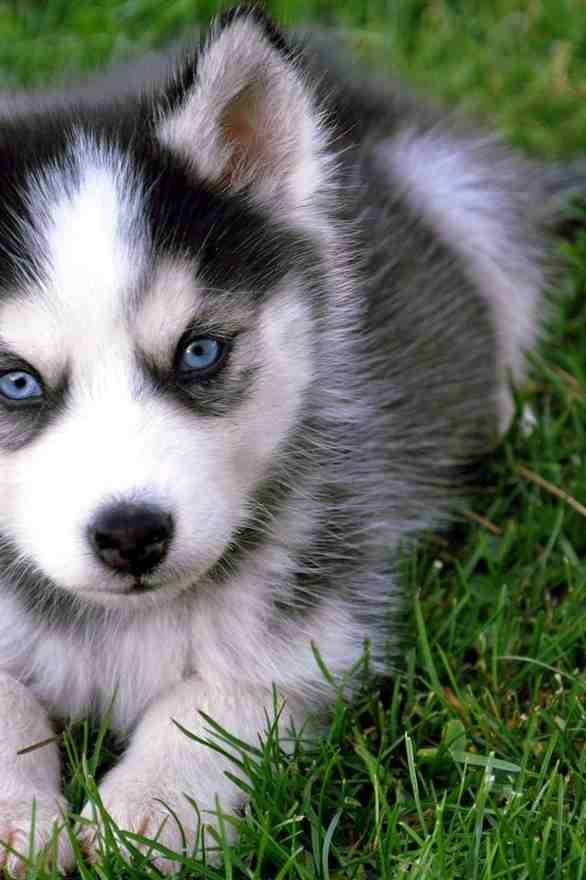 pin baby huskies pictures - photo #20