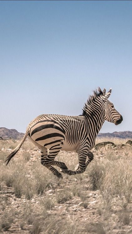 Hartmann's Mountain zebra in Iona National Park in Angola - photo by Kostadin Luchansky / Angola Image Bank, via Getty Images;  Hartmann's Mountain zebra (Equus zebra hartmannae) is a subspecies of the mountain zebra found only in far south-western Angola and western Namibia.  http://www.gettyimages.com/detail/photo/mountain-zebra-in-iona-national-park-in-angola-royalty-free-image/584146659