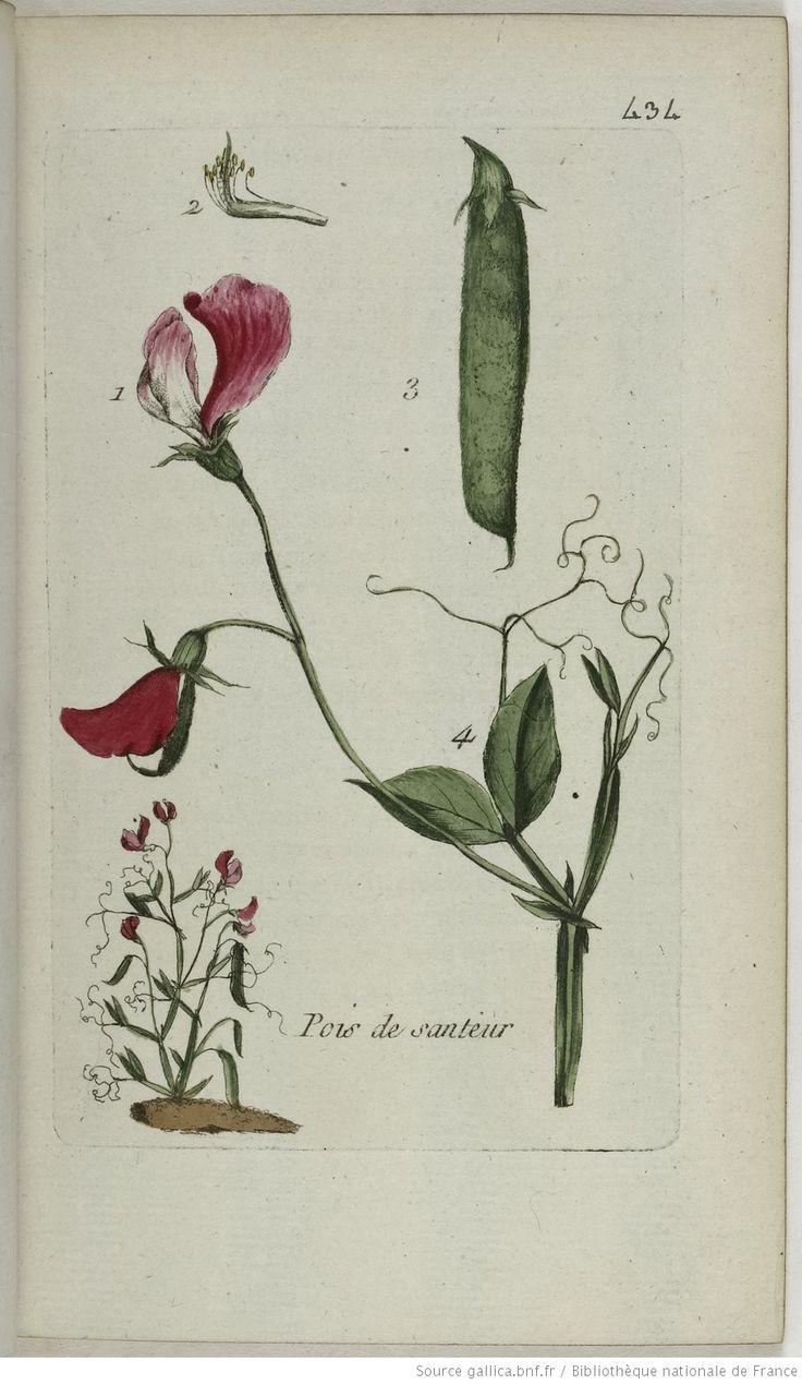 LATHYRUS - Lathyrus odoratus. Le pois de senteur / La gesse odorante / Le pois odorant / Le pois à odeur d'orange