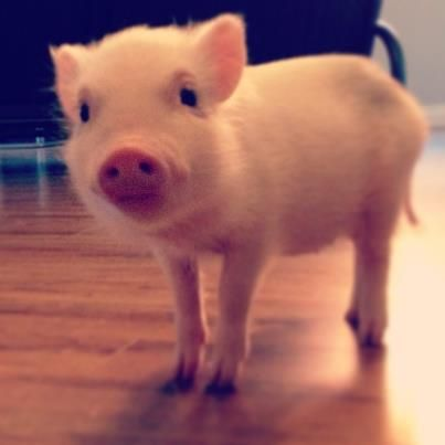How sweet! I want a teacup pig!