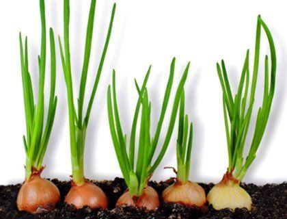 Выращивание лука на подоконнике зимой: годовой запас витаминов